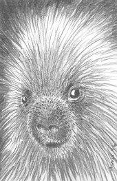 "Porcupine, 2016. 5"" x 7"" graphite (prints available)"